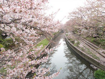 4月上旬<br />-吹上 元荒川 桜並木-