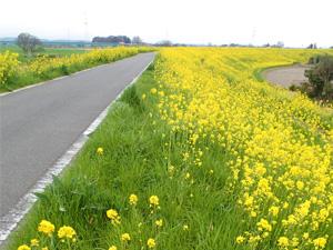 4月上旬<br />-大間土手の菜の花-